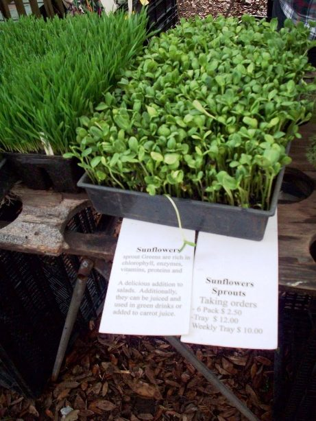 Sunflower sprouts from Cut Flower Farm in Havana