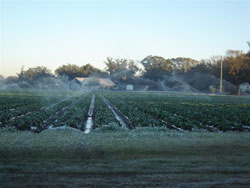 Growers irrigate strawberry crops in eastern Hillsborough County to help insulate them from freezing temperatures.