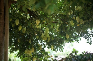 CARAMBOLA - also called starfruit