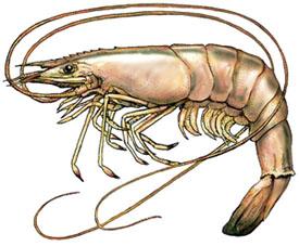 Artist rendering of a delicious Florida shrimp
