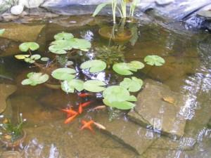 canna waterlil fish tapeeel grass