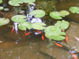 lillies hornwort and fish
